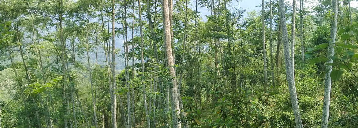 Benzoin Forest