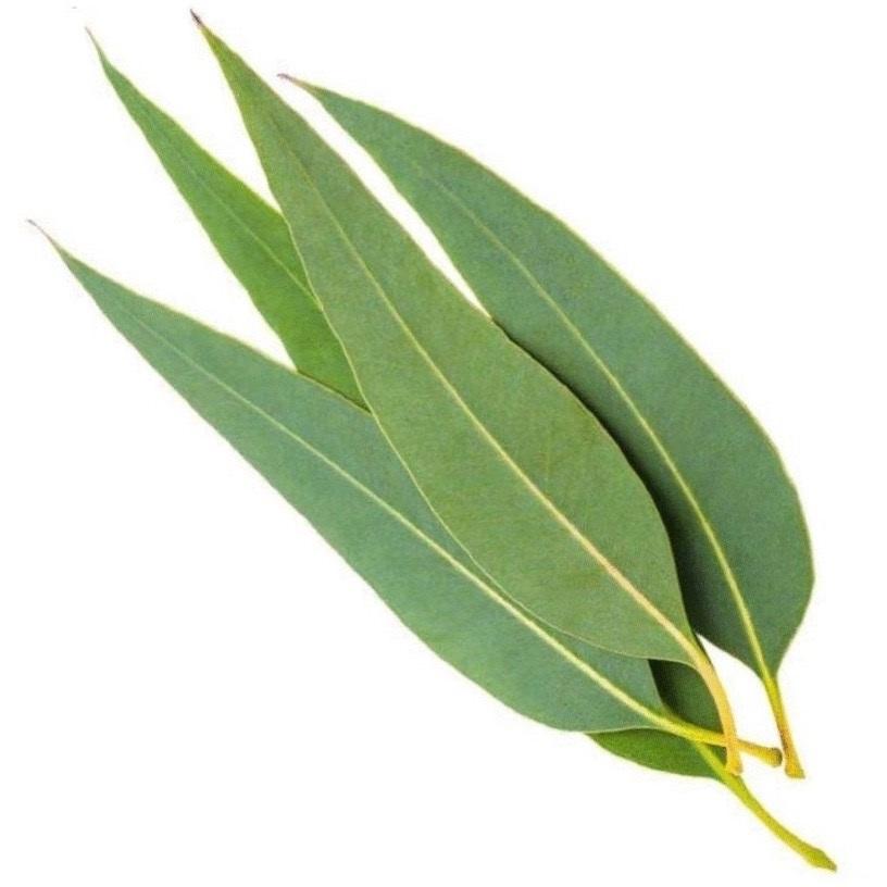 Tinh dầu Eucalytus 99%